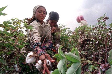 Working children in Egypt - girls picking cotton in a field