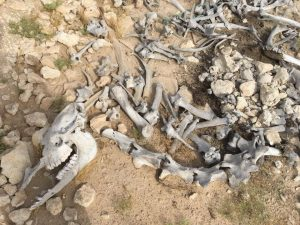 Camel bones in the desert - impressions of Qataris