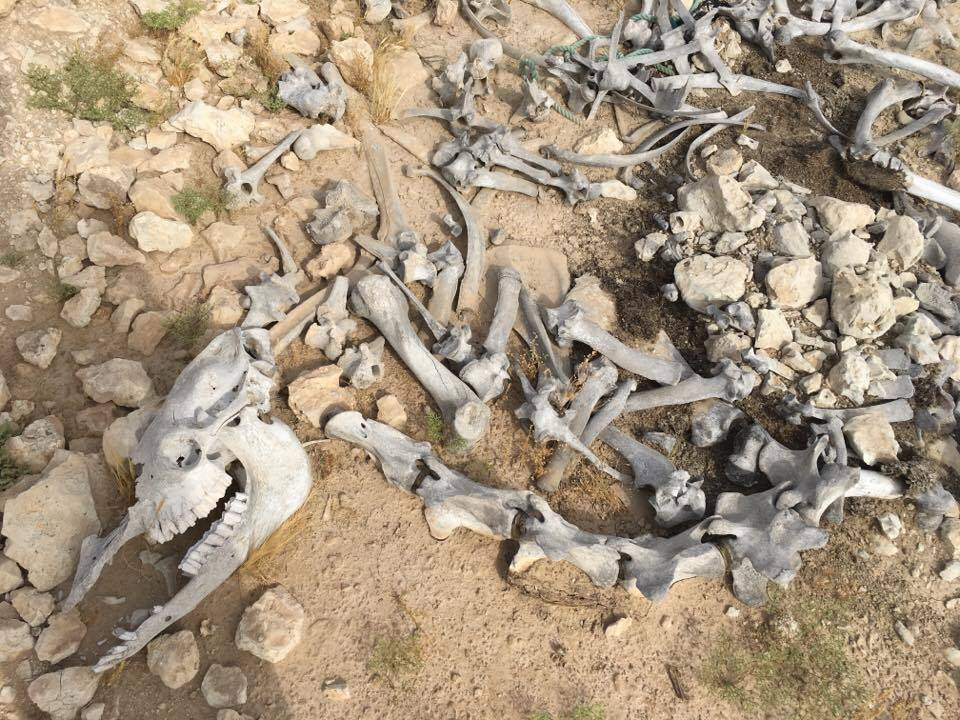 Camel bones in the desert - impressions of Qataris